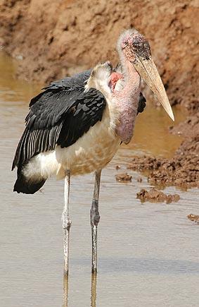 MARABU + UCCELLI AFRICANI (ho fatto un salto in Africa dato che qui piove...scemenza!) dans animali ed animaletti marabu%2011
